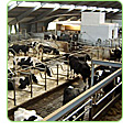 led lighting dairy farms